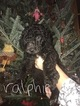 Small Photo #5 Poodle (Standard) Puppy For Sale in TRYON, NC, USA