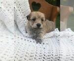 Puppy 0 Havachon