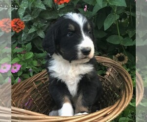 Bernedoodle Puppy for sale in PORT ROYAL, PA, USA