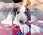 Great Dane Puppy For Sale in CANTON, GA, USA