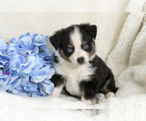 Miniature Australian Shepherd Puppy for Sale in LONOKE, Arkansas USA