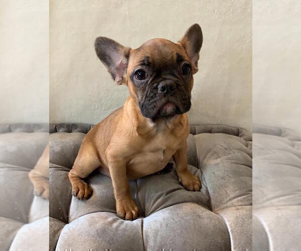 Full screen Photo #5 French Bulldog Puppy For Sale in CHARLESTON, SC, USA
