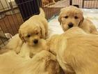 Golden Retriever Puppy For Sale in SPOTSYLVANIA, VA, USA