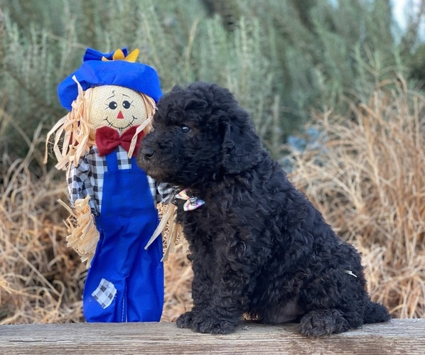 Medium Photo #2 Poodle (Standard) Puppy For Sale in HANFORD, CA, USA