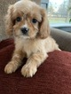 Small #4 Cavalier King Charles Spaniel-Poodle (Toy) Mix