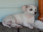 Chion Puppy For Sale in MOSCOW, ID, USA