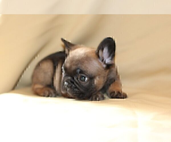 Medium Photo #4 French Bulldog Puppy For Sale in WINDERMERE, FL, USA