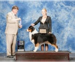 Small Photo #1 Australian Shepherd Puppy For Sale in STEPHENVILLE, TX, USA