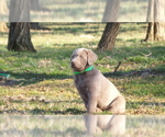 Labrador Retriever Puppy For Sale in FRYSTOWN, PA, USA