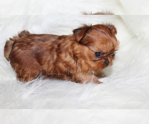 Yorkshire Terrier Puppy for sale in PFLUGERVILLE, TX, USA