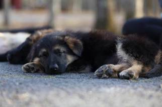 German Shepherd Dog Puppy For Sale in REDFIELD, AR, USA
