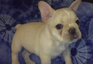 French Bulldog Puppy For Sale in OAK GROVE, MO