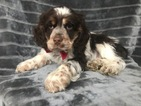Small #14 Cocker Spaniel