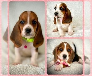 Basset Hound Dog for Adoption in HESPERIA, California USA