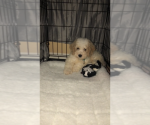 Cavachon-Poodle (Toy) Mix Puppy for sale in EAST YORK, PA, USA