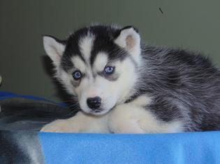 Siberian Husky Puppy For Sale in NATHALIE, VA, USA
