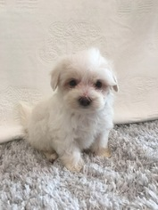 Maltipoo Puppy For Sale in HAMPSHIRE, IL