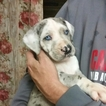 Great Dane Puppy For Sale in ALHAMBRA, IL