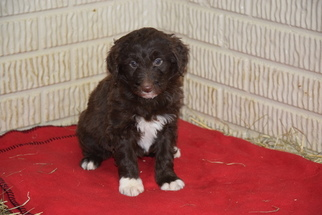 Aussiedoodle Dog For Adoption in FREDERICKSBURG, OH, USA