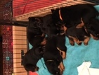 Rottweiler Puppy For Sale in VACAVILLE, CA, USA