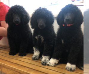 Poodle (Standard) Puppy for sale in RUPERT, ID, USA