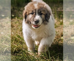 Great Pyrenees Puppy for sale in MONTICELLO, MN, USA