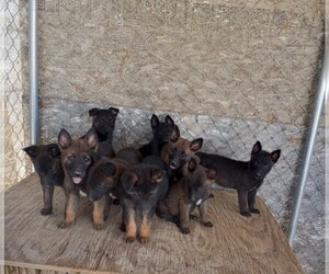 Belgian Malinois Puppy for sale in LAKE LOS ANGELES, CA, USA