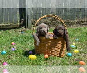 Labrador Retriever Puppy for sale in MORGANTOWN, KY, USA