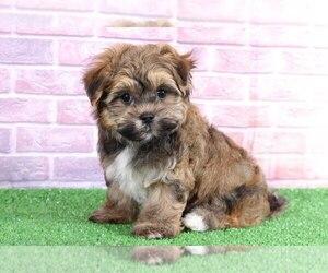 Havanese Dog for Adoption in BEL AIR, Maryland USA