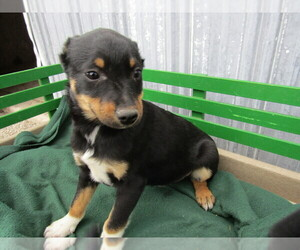 Miniature Pinscher Puppy for sale in KOKOMO, IN, USA