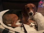 Beagle Puppy For Sale in GILBERT, Arizona,