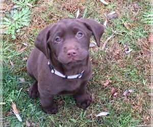 Labrador Retriever Puppy for Sale in GARDINER, Maine USA