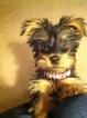 Silky Terrier Female Denver CO