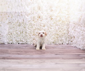 Malchi-Poodle (Toy) Mix Puppy for Sale in FULLERTON, California USA