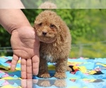 Small #36 Goldendoodle