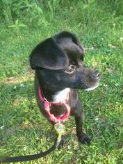 ANNDALINA - Chihuahua / Terrier / Mixed Dog For Adoption