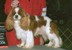 Cavalier King Charles Spaniel Puppy For Sale in OKLAHOMA CITY, OK, USA