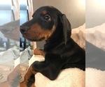 Puppy 0 Doberman Pinscher