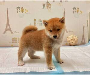 Shiba Inu Dog for Adoption in SEATTLE, Washington USA