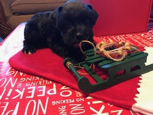 Schnauzer (Miniature) Puppy For Sale in TAMPA, FL, USA