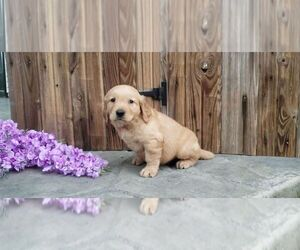 Golden Retriever Puppy for Sale in SUGARCREEK, Ohio USA