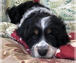 Small #10 Springerdoodle