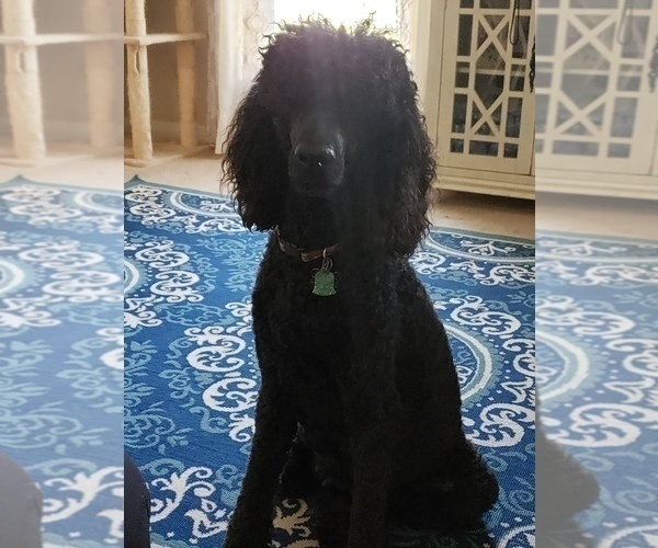 Medium Photo #15 Poodle (Standard) Puppy For Sale in DYERSBURG, TN, USA