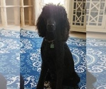 Small Photo #15 Poodle (Standard) Puppy For Sale in DYERSBURG, TN, USA
