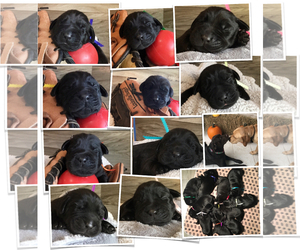 Labrador Retriever Puppy for sale in BRUNSWICK, GA, USA