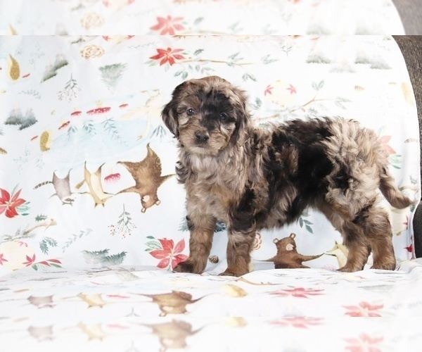 Medium Photo #1 Aussiedoodle Puppy For Sale in UNION CITY, TN, USA