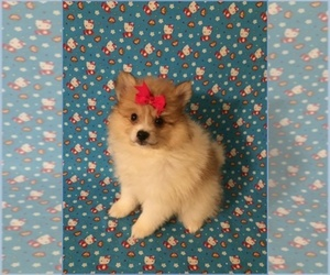 Pomimo Puppy for sale in CLARKSVILLE, TN, USA