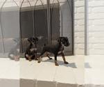 Puppy 1 Miniature Pinscher