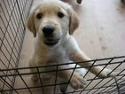 Golden Retriever Puppy For Sale in ORANGEBURG, SC
