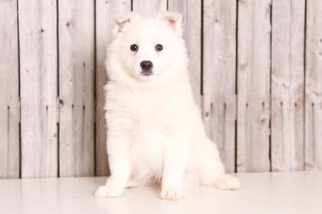 American Eskimo Dog Puppy For Sale in MOUNT VERNON, OH